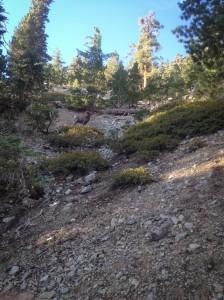 nelson's bighorn sheep cucamonga peak