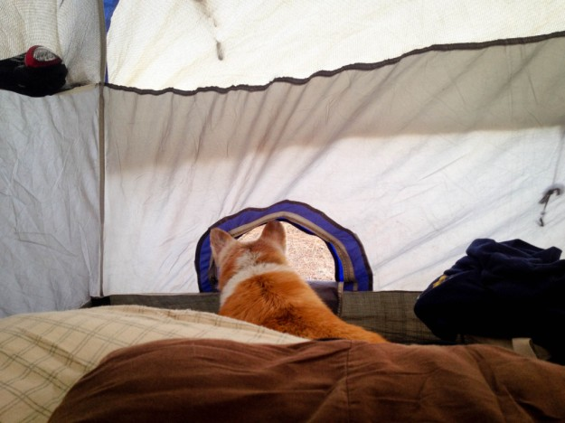 nabby the corgi watching outside tent